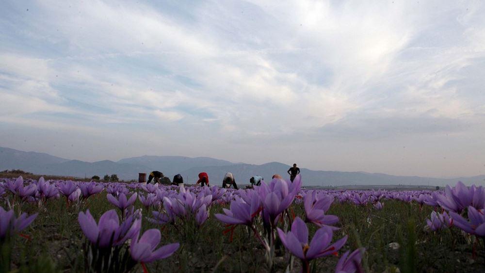 Κοζάνη: Καλλιέργεια ακριβείας με drone πάνω από τα κροκοχώραφα