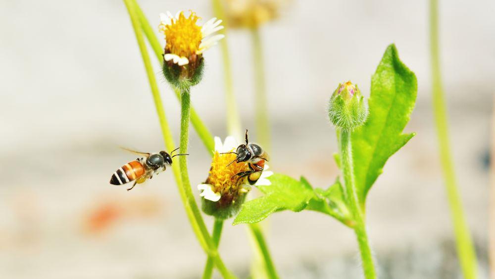 Ολλανδία: Ερευνητές εκπαίδευσαν μέλισσες για να εντοπίζουν τις μολύνσεις κορονοϊού
