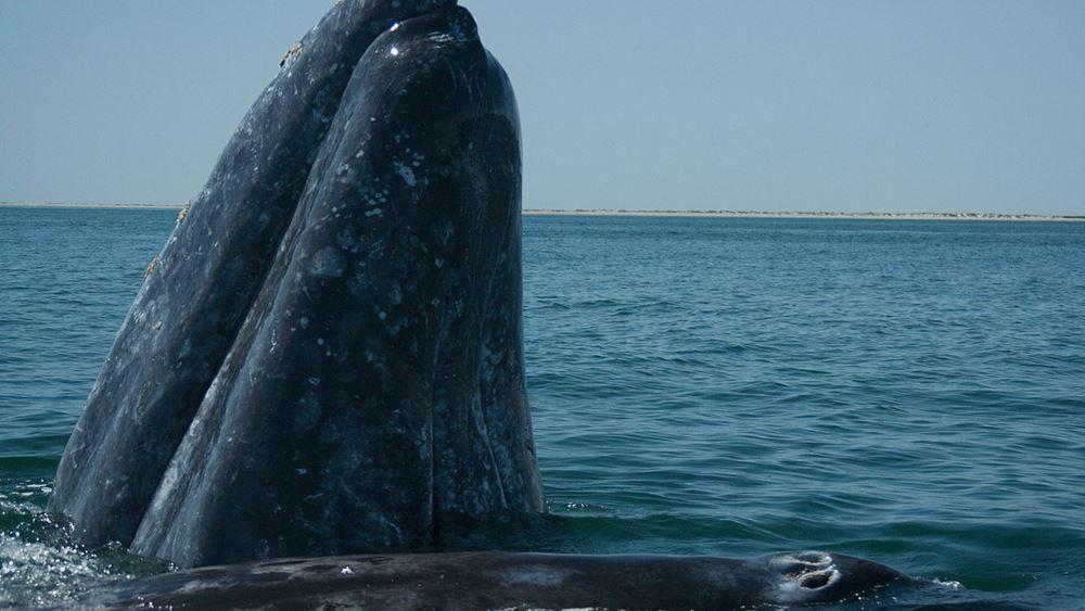 Γκρίζα φάλαινα του Ειρηνικού έχασε τον δρόμο της και βρέθηκε στις ακτές της Γαλλίας στη Μεσόγειο