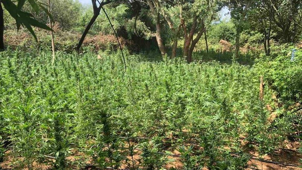 Τρίπολη: Εντοπίστηκε φυτεία κάνναβης με περισσότερα από 170 δενδρύλλια