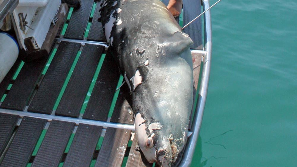 """Αλόννησος: Δολοφονήθηκε με ψαροντούφεκο ο """"Κωστής""""- η φώκια-μασκότ του νησιού"""