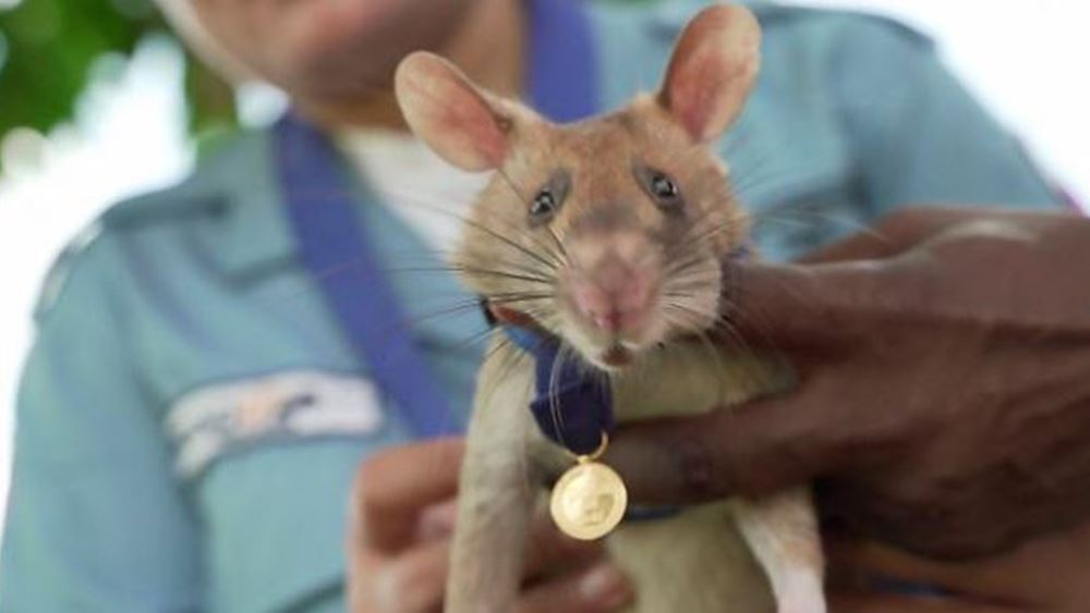 Καμπότζη: Χρυσό μετάλλιο σε αρουραίο γαι τη συμβολή του στην ανίχνευση ναρκών των Ερυθρών Χμερ