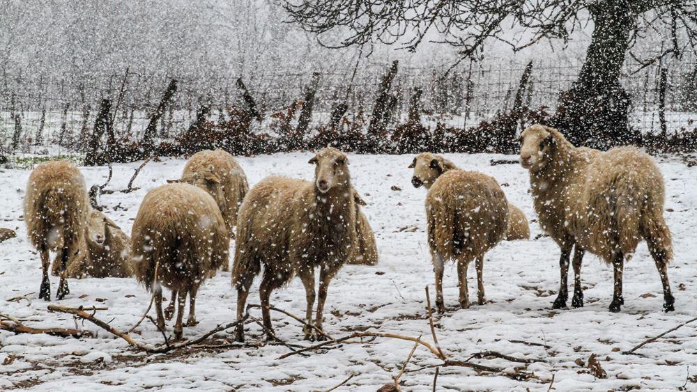 """Διατηρούν τις επιδοτήσεις τους οι κτηνοτρόφοι που χάνουν ζωικό κεφάλαιο λόγω """"ανωτέρας βίας"""""""