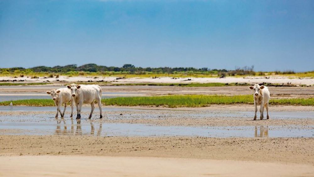 Τρεις αγελάδες που παρασύρθηκαν από τυφώνα βρέθηκαν ζωντανές σε ερημονήσι 2,5 μήνες μετά