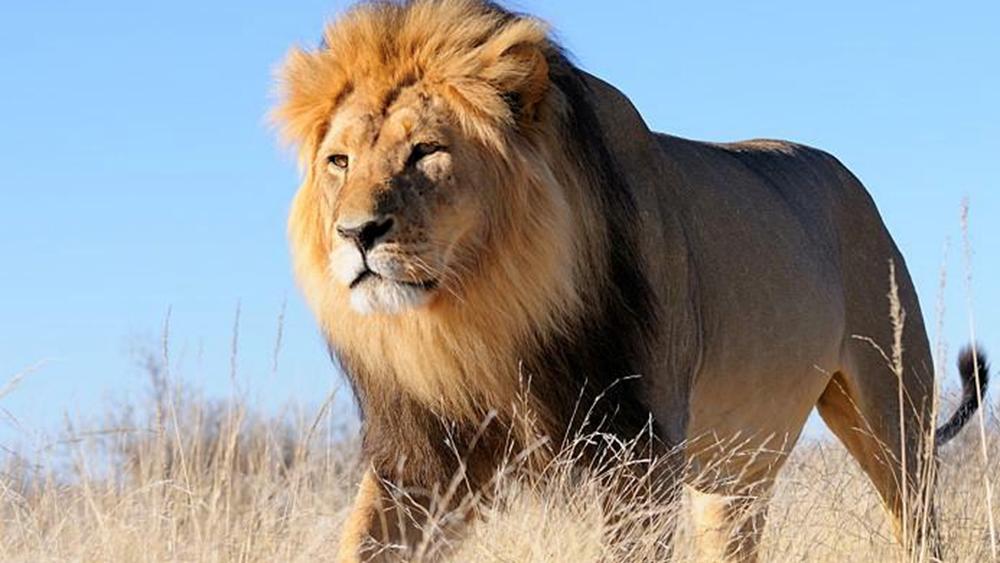 Η Νότια Αφρική θα απαγορεύσει την εκτροφή λιονταριών σε αιχμαλωσία, δεν αλλάζει τους κανόνες για το κυνήγι μεγάλων θηραμάτων