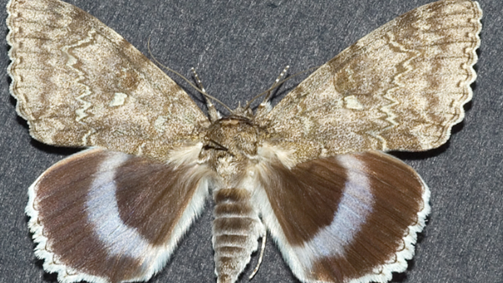 Στο Τσερνόμπιλ ανακάλυψαν πεταλούδα σε μέγεθος πουλιού