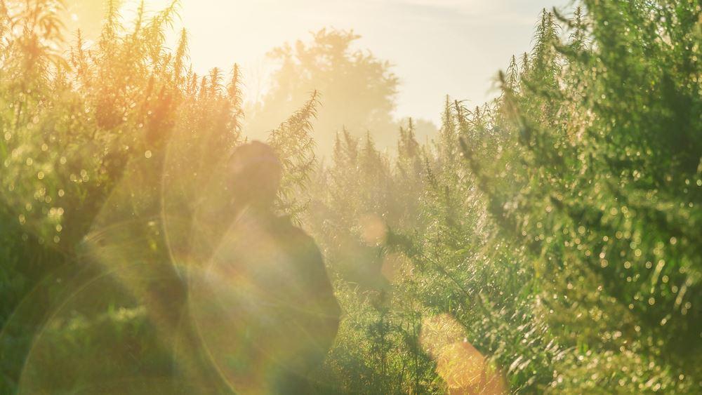 Επτά φυτείες κάνναβης στον Μυλοπόταμο Ρεθύμνου εντόπισε η ΕΛΑΣ μέσα σε δύο ημέρες