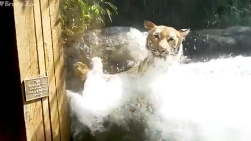 """Κορονοϊό """"κόλλησαν"""" τέσσερις τίγρεις και τρία λιοντάρια στον ζωολογικό κήπο του Μπρονξ"""