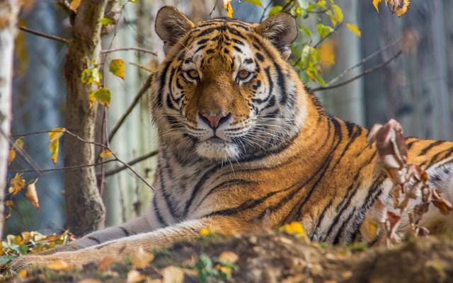 Ελβετία: Φύλακας ζωολογικού κήπου τραυματίσθηκε θανάσιμα από τίγρη της Σιβηρίας