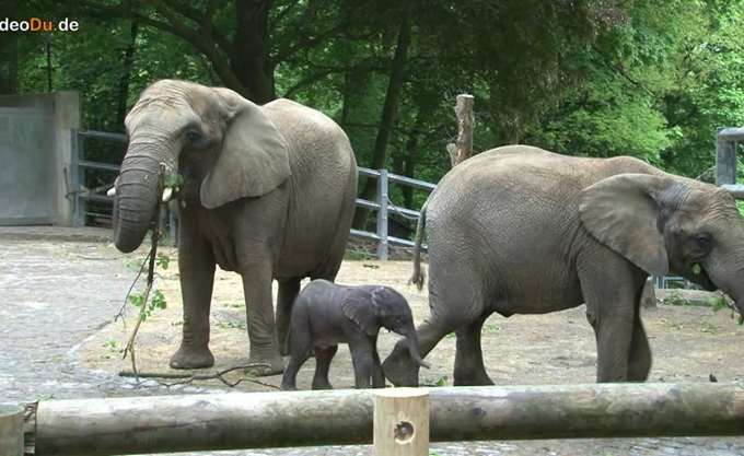Γεννητούρια μικρού ελέφαντα στον ζωολογικό κήπο του Βούπερταλ στη Γερμανία