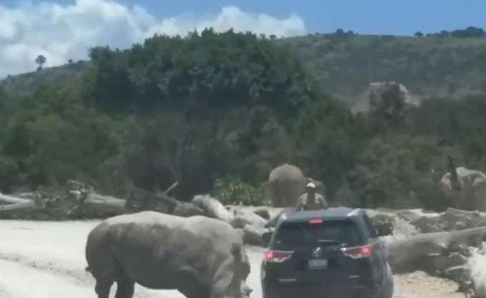 Ρινόκερος εμβολίζει SUV