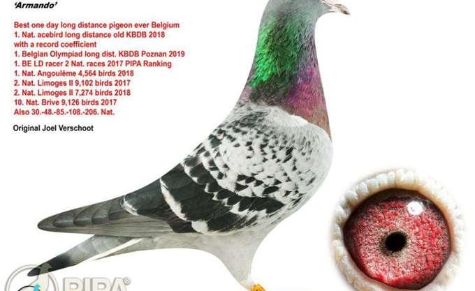 Ταχυδρομικό περιστέρι πουλήθηκε έναντι 1,25 εκατ. ευρώ